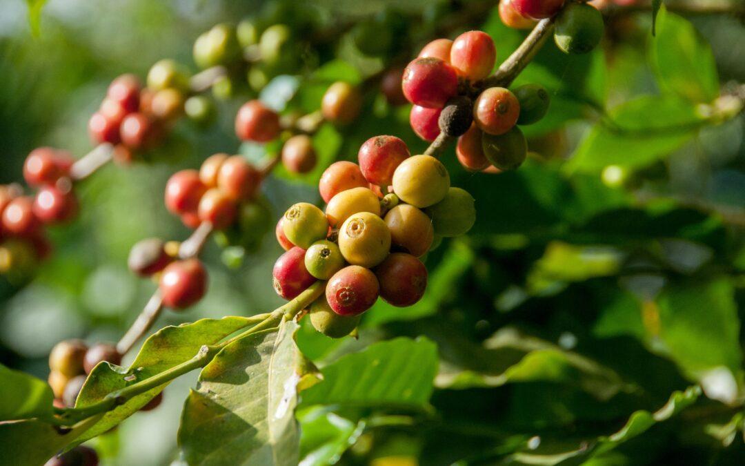 The Coffee Bean Journey